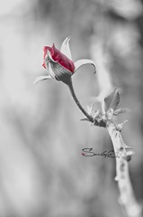 I'm special (Sulafa) Tags: blackandwhite bw flower nature rose nikon     nikond7000