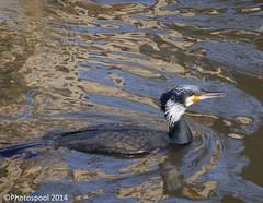 Cormorant on River Thames (Photospool) Tags: thames river cormorant