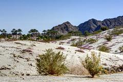 Winter Desertscape (Spebak) Tags: flowers winter landscape sand day purple desert bluesky brush clear coachellavalley vista wildflowers hdr indianwells desertmountains aeb desertscape spebak