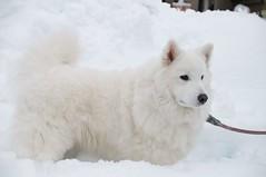 Maria in snow  (Shin) Tags: japan nikon samoyed maria sigma 2014 30mmf14 d300s sb700 aperture3