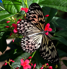 Paper Kite on Flower (ksblack99) Tags: paperkite butterfly desertbotanicalgarden phoenix arizona