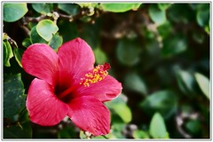 Hibiscus (benben333) Tags: ocean africa pink red sea mer flower beach nature fleur beautiful rose rouge nice morocco hibiscus maroc plage beau afrique taghazout