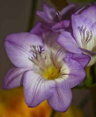 Freesia (Canon John's 7D (Wow! 3,000,000+ views, Thanks)) Tags: fragrant freesia tepal funnelshaped