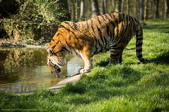 Male Tiger Drinking (Scott Cartwright Photography) Tags: animal canon wildlife tiger longleat naturephotography longleatsafaripark wildlifephotography canon5dmkiii canon5dmk3 flickrbigcats scottcartwright shrewsburyphotographer