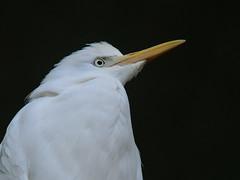 DSC_6033_10 (kuhnmi) Tags: white bird nature birds animal animals zoo tiere eyes cattle wildlife zurich zürich vögel egret tier vogel cattleegret kuhreiher zürcherzoo