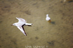 The bird (Sina1392) Tags: white bird nature water canon river fly iran tele esfahan isfahan zayandeh zayandehrood