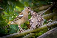 Thanks Mum (picsfolio) Tags: nature birds garden wildlife young mum canon7d sigma30028 picsfolio