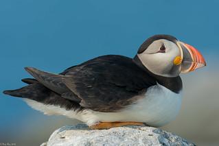 Atlantic puffin [Fratercula arctica] (Explored)