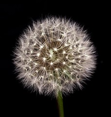 Dandelion Globe with Seeds (publicdomainphotography) Tags: background beautiful beauty blossom closeup dandelion field flora floral flower fluff fluffy green meadow natural nature plant scene spring stem summer sunlight sunny sunset white wind black