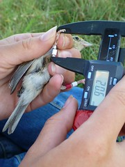 Taking tarsus measurements on a Grasshopper Sparrow (Ammodramus savannarum) (boylelab) Tags: tallgrassprairie fieldwork konza konzaprairiebiologicalprairie kpbs grasshoppersparrow ammodramussavannarum calipers