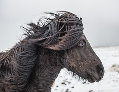 Icelandic Horse (MarcCooper_1950) Tags: iceland winter wintery snow ice clouds outdoors landscape hdr nikon d810 icelandic horses wind mane animals