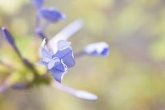 365-75 (Letua) Tags: flor plumbago jazmin celeste jazmindelpais delicado sutil bello naturaleza profundidaddecampo dof lightblue flower throughherlens
