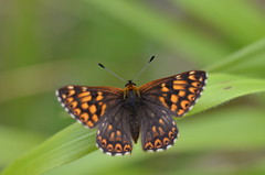 Duke of Burgundy, Bentley Wood, Wiltshire (nick edge) Tags: butterfly wildlife butterflies wiltshire dukeofburgundy bentleywood hamearislucina