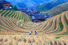 Autumn, the farmer harvest (MPBHAIBO) Tags: china travel autumn summer house mountain landscape outdoors asia village rice guilin farm working crop agriculture minority idyllic ricepaddy scenics traditionalculture longsheng occupation chineseculture landscaped famousplace ruralscene beautyinnature terracedfield chineseethnicity nationalminority agriculturalactivity highangleofview guangxiregion longjitetian