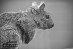 Squirrel (GdotArroyo) Tags: blackandwhite nature monochrome animal canon mammal rodent squirrel 7d common