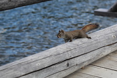 Squirrel on bridge (Steve Boer) Tags: bridge lake canada canon 50mm squirrel jasper alberta animalplanet pyramidlake 60d