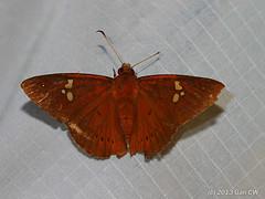 Capila phanaeus, Fulvous Dawnfly (Green Baron Pro) Tags: butterfly malaysia 5star tamannegara hesperiidae pyrginae 201305 atractedtolight