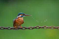 Kingfisher (Explored) (Gareth Keevil) Tags: wild birds leeds kingfisher nikond700 garethkeevil