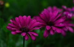 Cantigny Park Flowers. 11 (EOS) (Mega-Magpie) Tags: park flowers usa green nature america canon outdoors eos illinois purple il wheaton cantigny 60d
