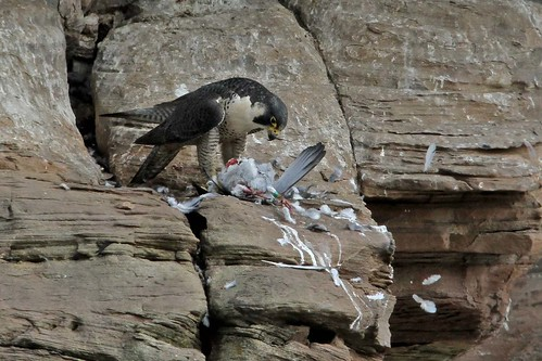 Peregrine female  preparing lunch PART 2    3.6.2013 (1)