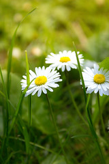 Daisies (laurabaay) Tags: flowers white plant flower green nature floral closeup daisies botanical petals flora petal daisy botanic greenbackground