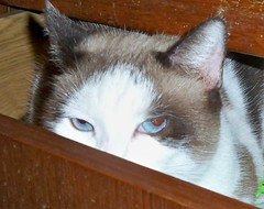 Where_is_Misty (nycsiameserescue) Tags: rescue cat snowshoe siamese adopt ragdoll adoption sealpoint nycsiamese wwwnycsiameseorg nycsiameseorg