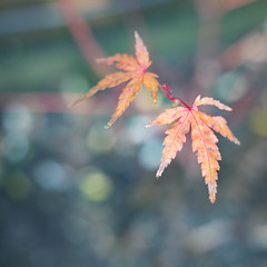 Two of a maple kind (bkiwik) Tags: newzealand plant tree nature digital canon maple japanesemaple nz mapletree dslr aotearoa eos6d