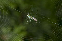 Spider eating series 4 (Richard Ricciardi) Tags: spider eating web spinne araa  araigne ragno timeseries     gagamba    nhn  spidertimeseries