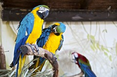 Parrots used in a show