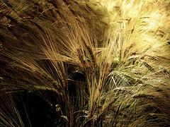 through the summer field