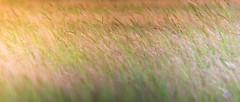 Quiétude dans les mollières (Alexandre LAVIGNE) Tags: france nature landscape photography photo pentax lumière paysage picardie ambiance marquenterre somme littoral fortmahonplage baiedauthie mollières louisengival 300mmf4edifsdm pentaxk5iis k5iis format235