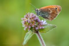 Bruin Zandoogje (FotoCorn) Tags: macro nature butterfly nikon butterflies natuur papillon dslr schmetterling vlinders vlinder vaud zwitserland zandoogje aubonne tc20e d700 mygearandme mygearandmepremium mygearandmebronze mygearandmesilver mygearandmegold tc20eiii mygearandmeplatinum mygearandmediamond nikkor105mmf28gtc20eiii