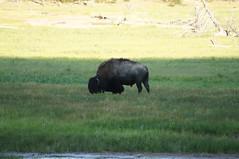 Yellowstone Bison (Tjflex2) Tags: usa nature buffalo wildlife yellowstonenationalpark wyoming elk bison
