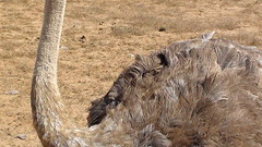 """""""Austrlia"""" Portuguesa... (Domingos Moreira) Tags: porto avestruz covo austrlia"""