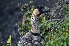 Nn (River Wanderer) Tags: birds hawaii goose bigisland hawaiivolcanoesnationalpark nene 55300 d5000