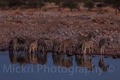 Zebras drinking at a waterhole in Etosha (Mickri Photography) Tags: zebra etosha namibie squiver
