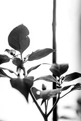 Pepper (simo mura) Tags: blackandwhite bw macro monochrome up closeup foglie backlight 35mm pepper leaf nikon close little filters 35 4x d90 filtri