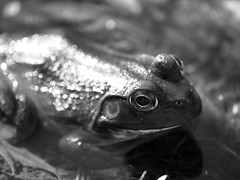 Handsome Smile (Raccoon Photo) Tags: ohio blackandwhite macro animal emotion hiking arboretum frog naturalbeauty holden hikingtrail endofsummer frogprince animalportrait kirtland holdenarboretum hikingtrails froginblackandwhite hikinginnature frogsmile blackandwhiteanimalportrait