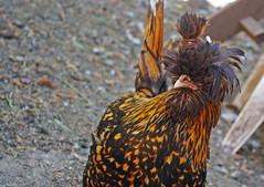 Hair Tie (Schelvism) Tags: chicken hat female hair backyard farm tie hairdo polish crest eggs coop breed hen pullet goldenlacedpolish