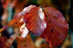 foglie (solonanda non c'è più) Tags: autumn red nature leaves foglie leaf natura autunno rosso automme fleursetpaysages rememberthatmomentlevel1 rememberthatmomentlevel2 rememberthatmomentlevel3