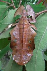 Wandelndes Blatt (planetvielfalt) Tags: wau insecta phasmida papuaneuguinea neuguinea tropischerregenwald morobeprovinz