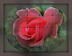 Experiment. Variations on a theme: The Lattice (tarelkaz1) Tags: pink flowers roses macro texture crazy experiment topshots photosandcalendar excellentsflowers natureselegantshots naturethroughthelens sonydscs730 theoriginalgoldseal mygearandme ipiccy