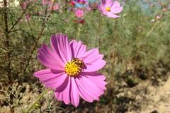 Beeeeeee (37591964@N02) Tags: bee cosmos  uploaded:by=flickrmobile flickriosapp:filter=nofilter
