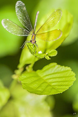 Calopteryx Vierge femelle en vol (5). (gille33) Tags: macro nature insect dragonfly insecte libellule libellula calopteryx odonata odonate sonydslra900 mygearandme mygearandmepremium mygearandmebronze mygearandmesilver blinkagain gillesremus flickrstruereflection1