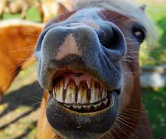 Smile! You are on Flickr! (smiled to Explore! Thank you all!!! 2013-11-27) (DaLi-A) Tags: horse pentax bokeh brandenburg pferd haflinger k30 impressedbeauty groszerlang penxtalife