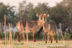 3rd eye blind (Thomas Retterath) Tags: travel wildlife ngc adventure npc zimbabwe mana zambezi waterbuck manapools abigfave slicesoftime fotocompetition fotocompetitionbronze blinkagain photographyforrecreationeliteclub