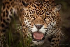 JaxZoo_12-22-13-3603-Edit (RobBixbyPhotography) Tags: zoo florida jacksonville jaguar edit zoosofnorthamerica