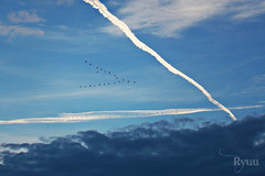 flying away  in a V formation as an arrow... (Ryuu) Tags: blue light sky cloud white bird nature birds animal animals clouds composition dark skyscape flying heaven contrail cloudy flight trace trails symmetry formation trail v arrow migration vapour skein vaportrail vformation