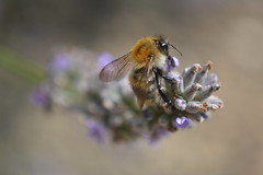 The Search For Nectar (annie.fabian) Tags: flower insect lavender bee
