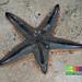 Plain sand star (Astropecten indicus)